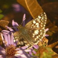 Common/White Checkered Skipper (Pyrgus communis/albescens)