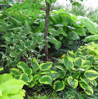 Solomon's seal, hostas and lysimachia on a berm in the shade garden
