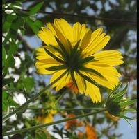 From the back .. False Sunflower ...