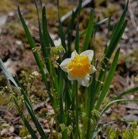 April 28th Narcissus 'Sovereign' growingamoung theEpimedium.