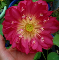 Lotus Red Dragon