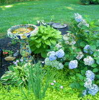 Cool blue hydrangeas in hot July!