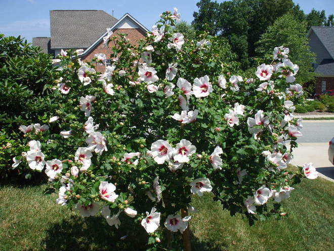 Rose of Sharon trees occupies a prominent place in front yard at the corner of the house