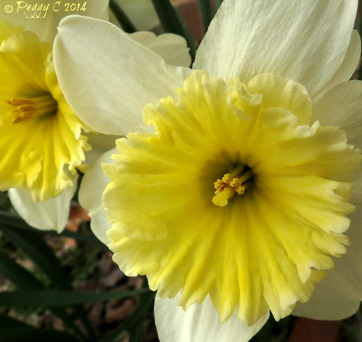 White  and yellow Daffodils..