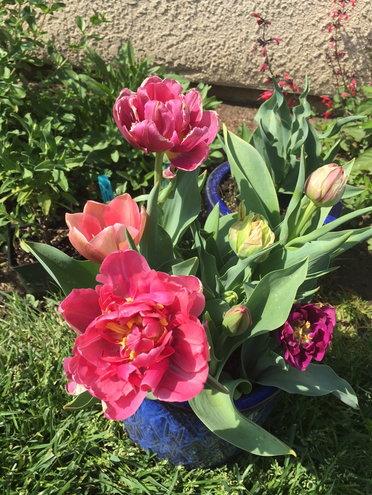 Double tulips, in pot