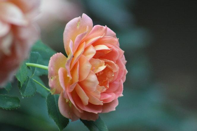 """""""Lady of Shallott"""" Rose"""