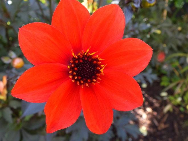 Dahlia 'Mystic Enchantment'