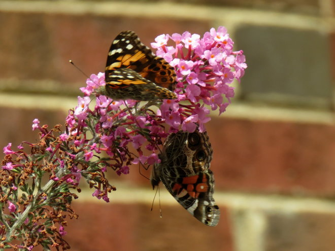 Next door ..Painted Lady on top of Buddleja and American Lady on bottom ..