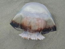 Jelly Fish washed ashore