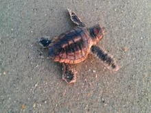New turtle hatch-ling headed south to the ocean.